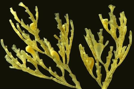 Колония циклостомной мшанки Crisia eburnea c несколькими «плацентарными инкубаторами» — гонозооидами © Пресс-служба СПбГУ