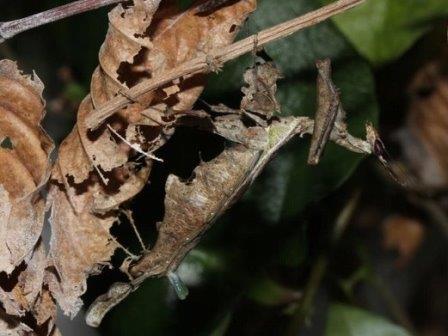 Самка Stenophylla lobivertex © Christian J. Schwarz