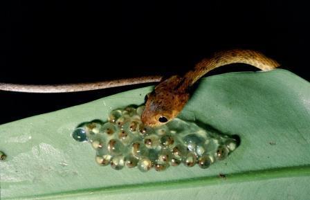 Эмбрионы красноглазой древесной лягушки (Agalychnis callidryas) ощущают вибрации, производимые приближающимися хищниками, и мгновенно вылупляются © Karen Warkentin