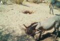 Рытье колодца (A) дикими ослами (E. africanus asinus) и (B) дикими лошадьми (E. ferus caballus) в пустыне Сонора, США © Erick J. Lundgren