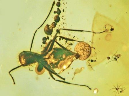 Allocordyceps baltica выходит из прямой кишки муравья, а вегетативная часть гриба выходит из его брюшка и шеи © George Poinar Jr., Oregon State University