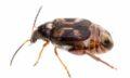 Callosobruchus maculatus © John and Kendra Abbott