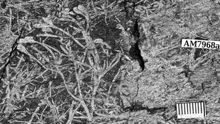 Uskiella spargen - небольшое растение, оси которого несколько раз делятся перед тем, как дать овальные спорангии © Cyrille Prestianni
