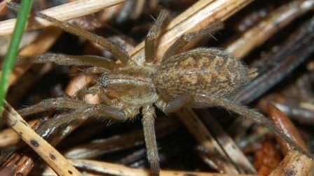Воронковый паук Eratigena agrestis ©Rainer Altenkamp, Berlin