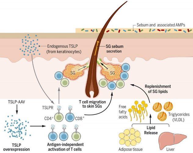 ТСЛП активирует Т-клетки, способствуя секреции кожного сала © Ruth Choa et al., 2021