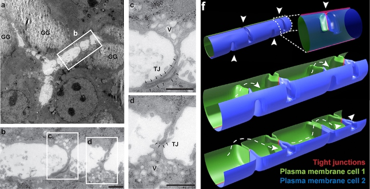 a — разветвление желчного канальца между тремя клетками (электронная микроскопия продольного среза дифференцированных гепатоцитов in vitro; GG — гранулы гликогена). b — увеличенная версия прямоугольного участка из a, на изображениях c и d — увеличенные участки из b. f — модель желчного канальца с периодическими похожими на переборки сросшимися участками клеточных мембран (см. наконечники стрелок) в просвете. © 2021 Belicova et al. Originally published in Journal of Cell Biology