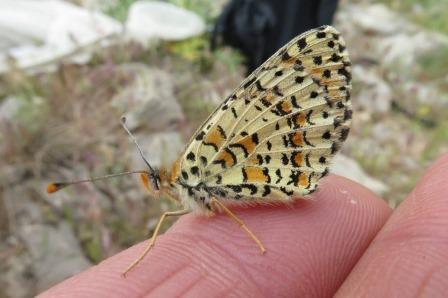 Бабочка Melitaea acentria, обитающая на склонах горнолыжного курорта Хермон в северном Израиле © Владимир Лухтанов