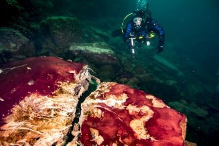Камни в Миддл-Айленд покрыты пурпурными цианобактериями и белесыми сульфатредукторами © Phil Hartmeyer, NOAA Thunder Bay National Marine Sanctuary