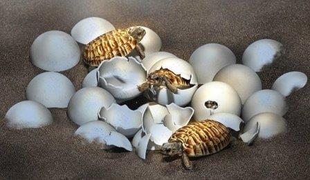 Детеныши черепахи Yuchelys nanyangensis © Masato Hattori