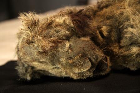 Найденная мумия пещерного льва © Love Dalén/Center for Palaeogenetics