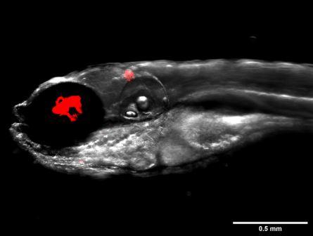 Данио, инфицированные флуоресцентными бактериями Mycobacterium abscessus, показаны красным © Dr Matt Johansen and the Kremer Lab