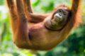 У орангутанов, как и у других человекообразных обезьян, и людей нет хвоста, который есть у большинства других приматов © Sebastian Kennerknecht/ Minden