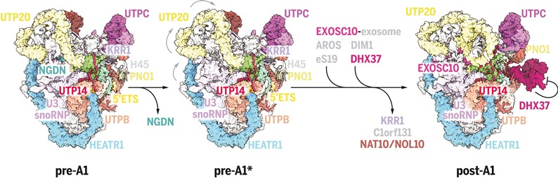 Схематическая модель ядрышкового созревания процессома человека SSU © Sameer Singh et al./ Science, 2021