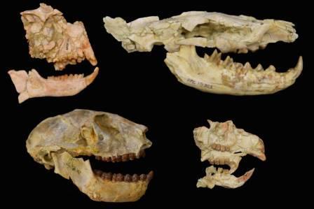Окаменелости групп млекопитающих, используемых для выяснения масштабов эоцен-олигоценового вымирания в Африке: приматы — слева, плотоядные гиенодоны — вверху справа, грызуны — внизу справа ©Matt Borths, Duke University Lemur Center